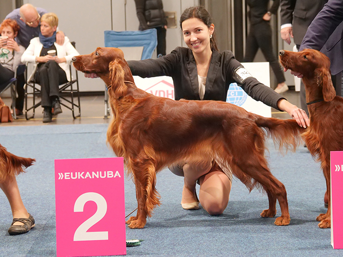 irish red setter at WDS in Leipzig